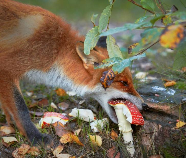 Fox eating Amanita Muscaria