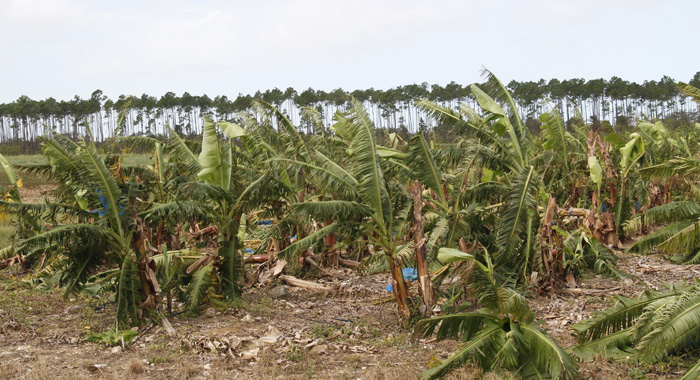 The Storm Wiped Out The Banana Crop In North Andros. (Photo: Cmc/Iwn)