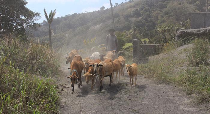 Sheep In Owia