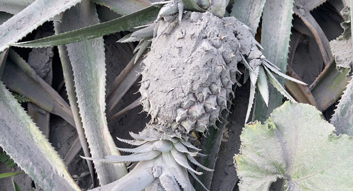 Pineapple 771X434 1