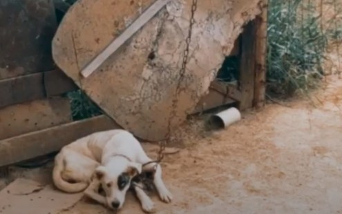 Polícia encontra cães acorrentados, debilitados e sem água - Jornal de Brasília
