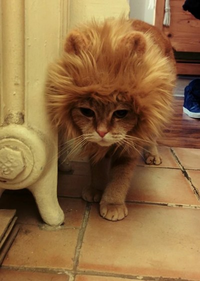 scottish fold cat disguised as a lion