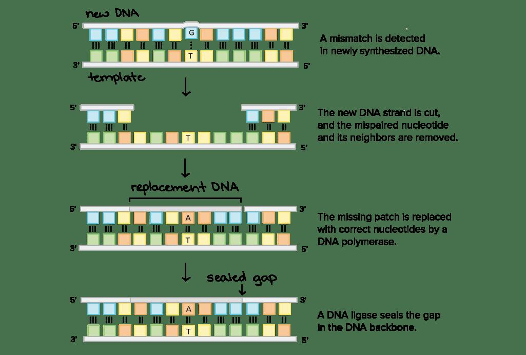 Repair Of Mutations - Repair Of Dna - MCAT Content