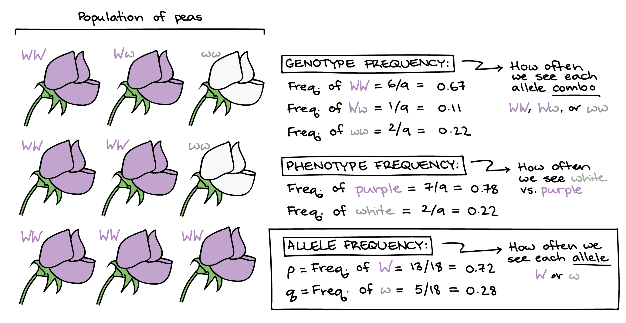 The Pairs Of Alleles In An Organism S Genetic Makeup Are
