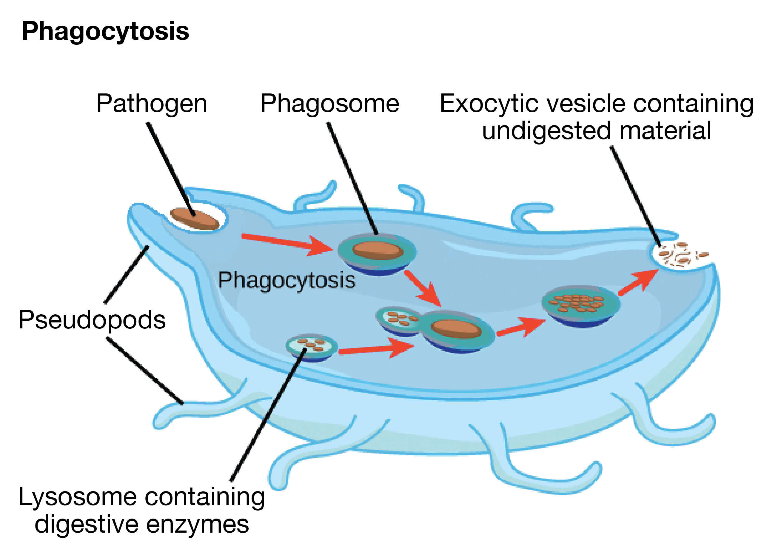Which Organelle Is Responsible For Providing Energy To The Cell