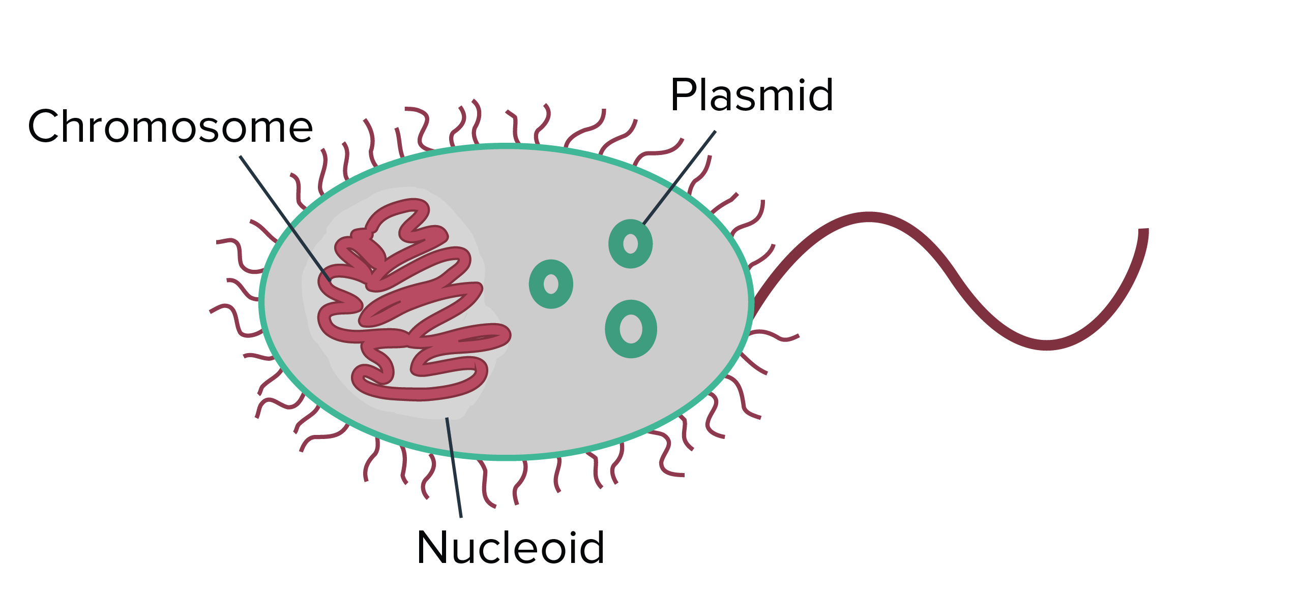 Draw A Diagram Of The Modified Bacterial Cell