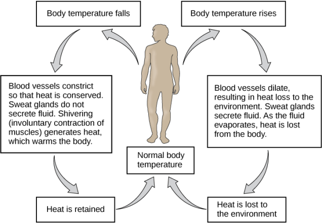 Image showing temperature regulation in response to signals from the nervous system. When the body temperature falls, the blood vessels constrict, sweat glands don't produce sweat, and shivering generates heat to warm the body. This causes heat to be retained the the body temperature to return to normal. When the body temperature is too high, the blood vessels dilate, sweat glands secrete fluid, and heat is lost from the body. As heat is lost to the environment, the body temperature returns to normal.