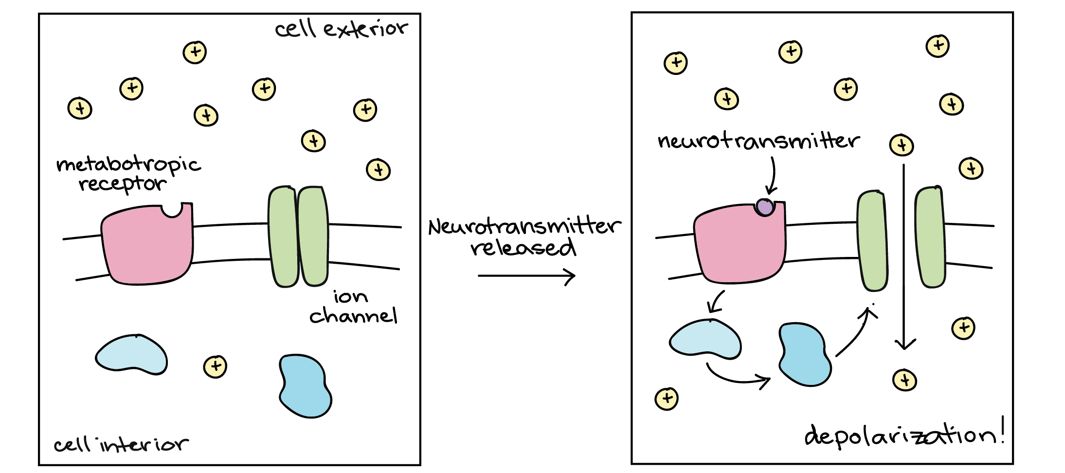 The Motor Neuron Releases A Neurotransmitter Called