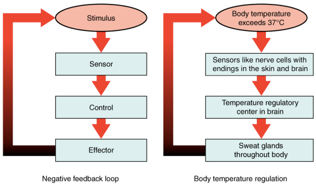 (a) A negative feedback loop has four basic parts: A stimulus, sensor, control, and effector.  (b) Body temperature is regulated by negative feedback. The stimulus is when the body temperature exceeds 37 degrees Celsius, the sensors are the nerve cells with endings in the skin and brain, the control is the temperature regulatory center in the brain, and the effector is the sweat glands throughout the body.