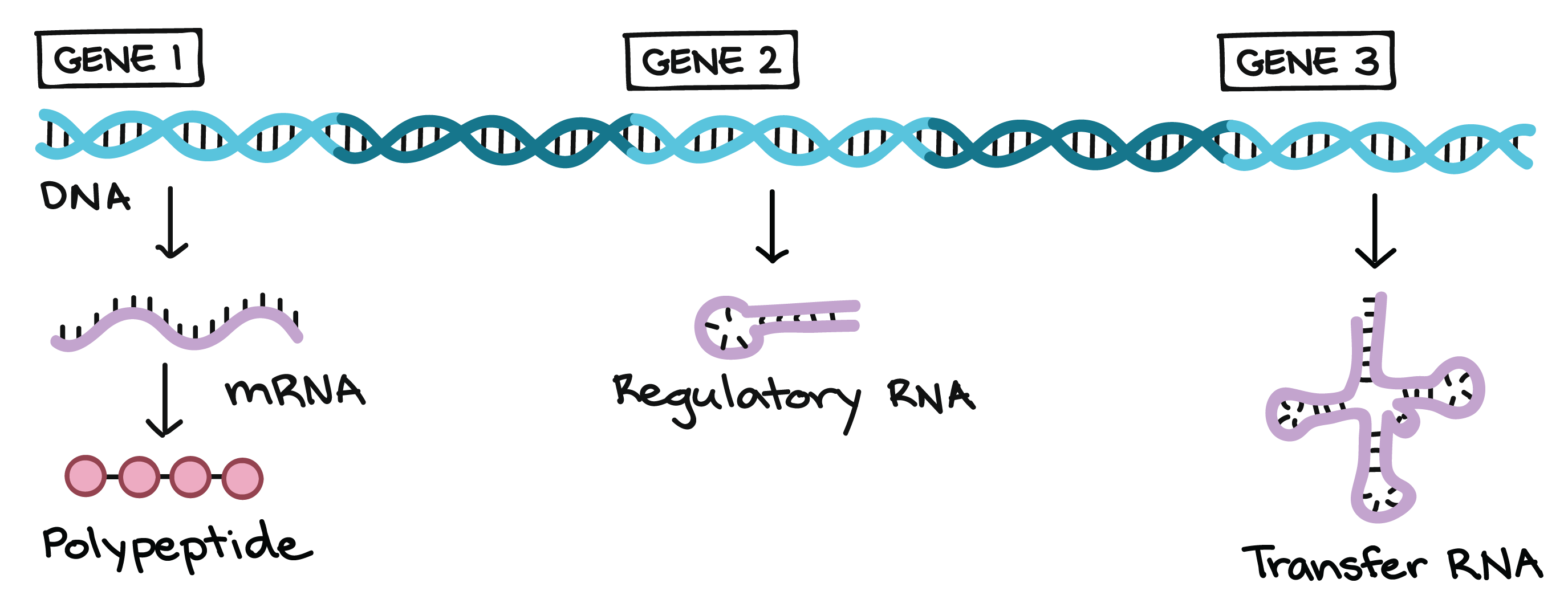 Properties Of Genetic Code Ppt Transcription And