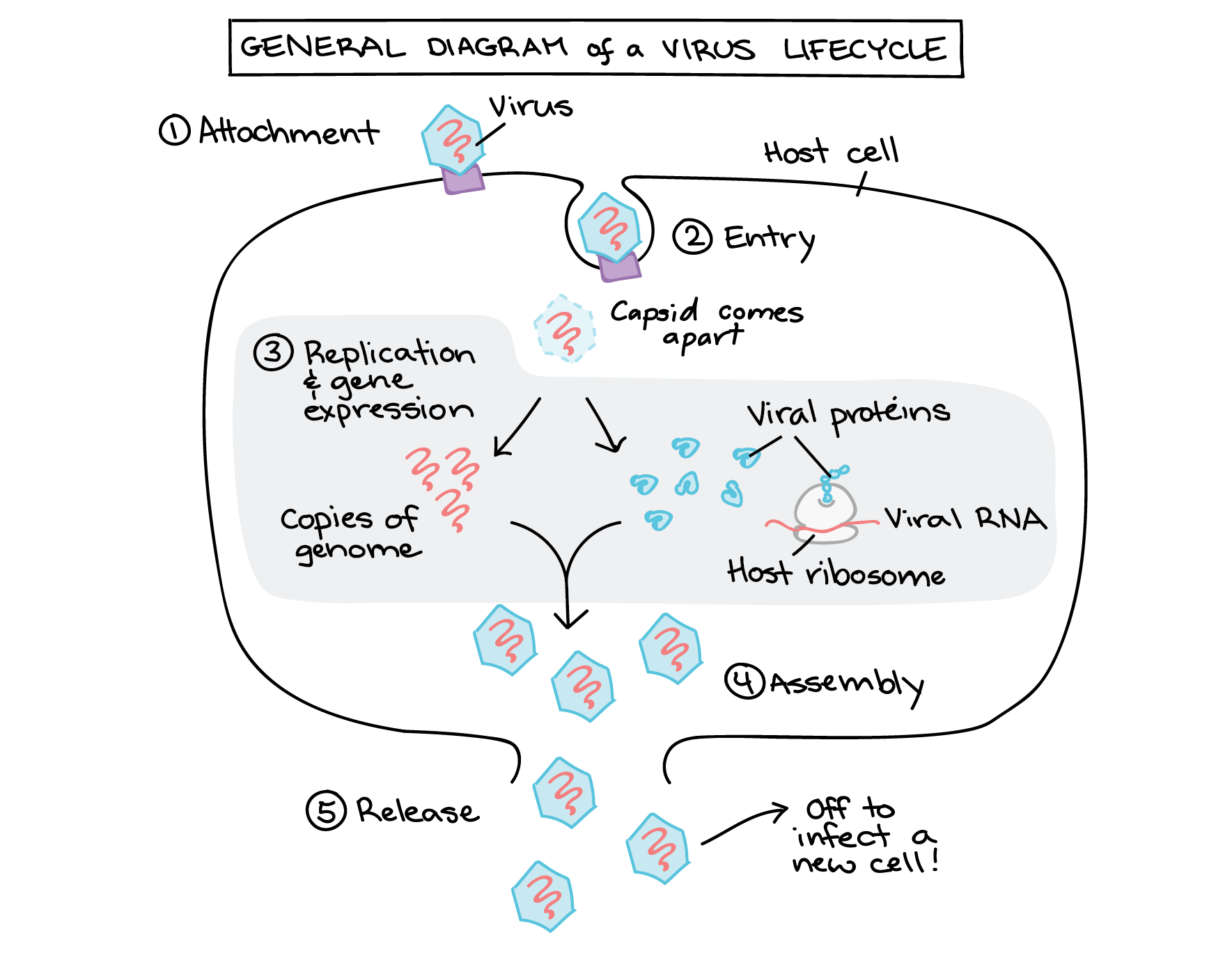 Generalized Phage And Animal Virus Life Cycles