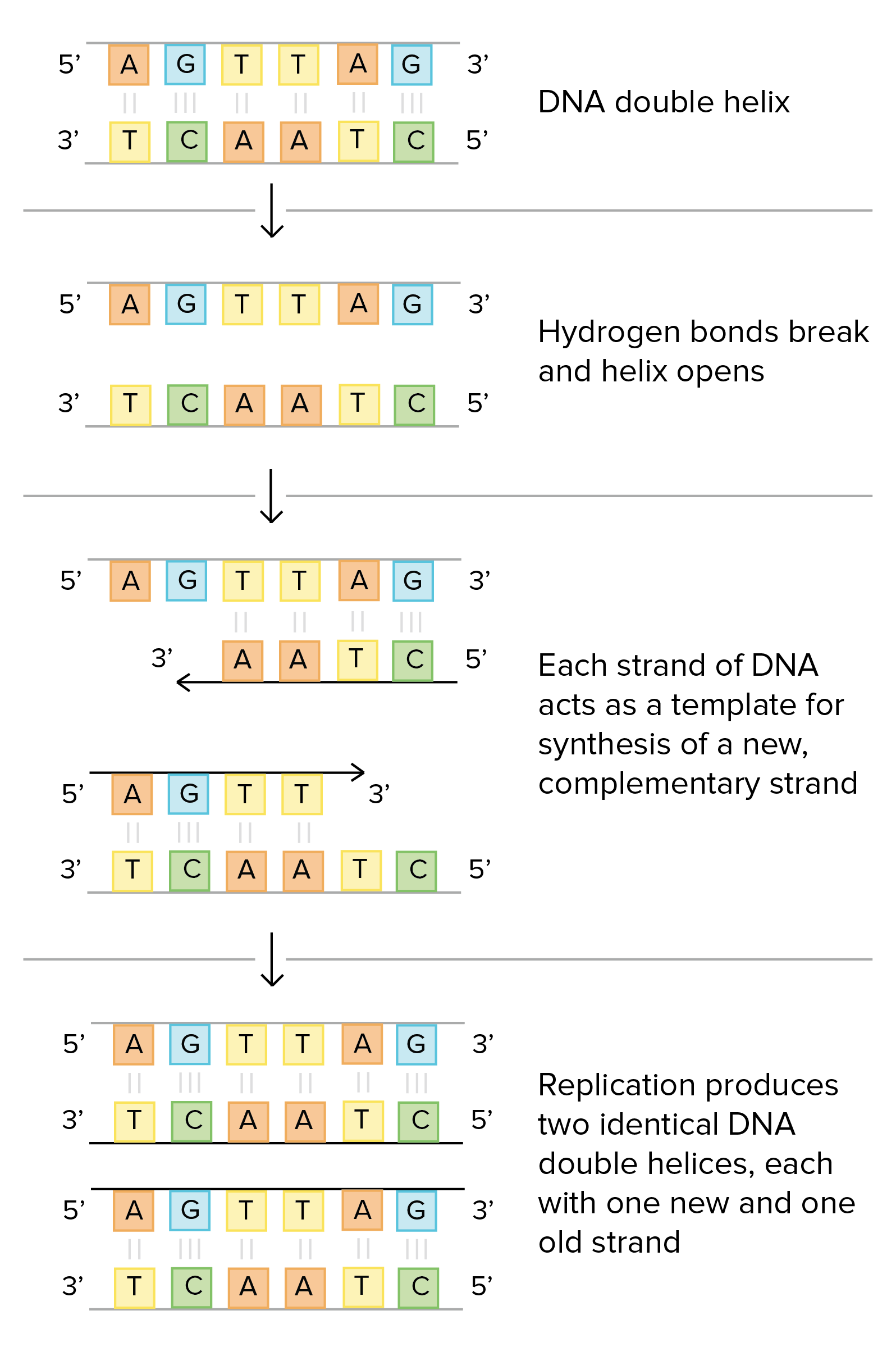 Structure Of Dna And Replication Worksheet