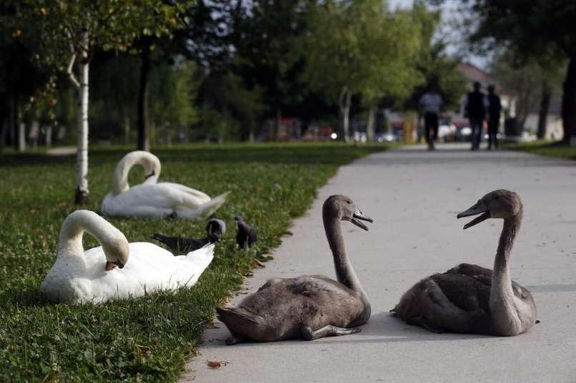 Obročkanje labodov, koseški bajer,