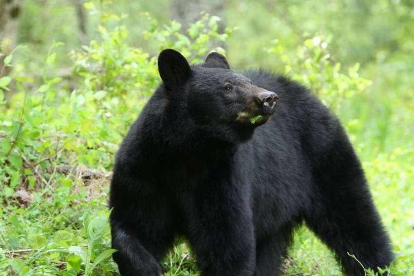 Pohodniki naleteli na ljudožerskega medveda