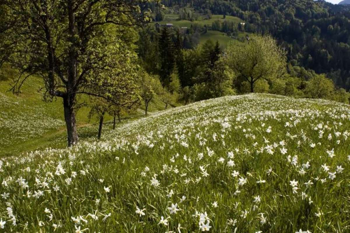 Narcise so strupene tudi za druge rastline - cvetje v vazi.