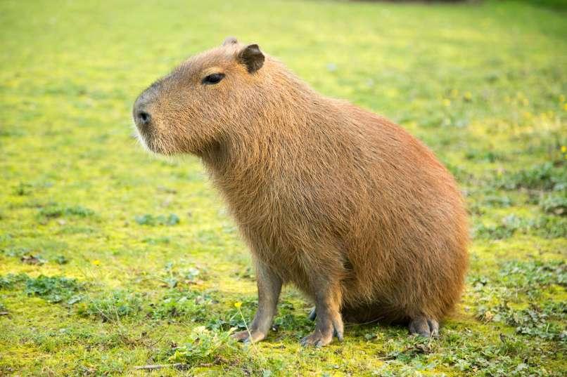 Kapibara Stinky