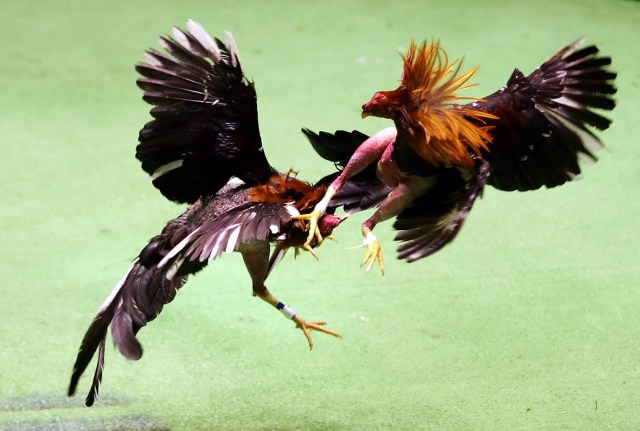 Image result for images of cockfighting