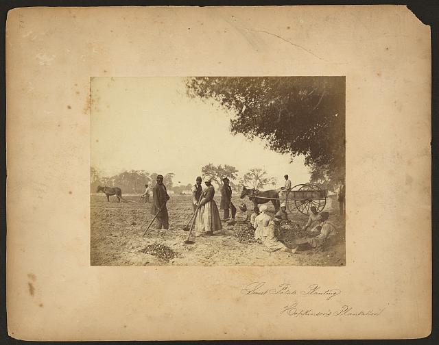 Sweet potato planting, Hopkinson's Plantation