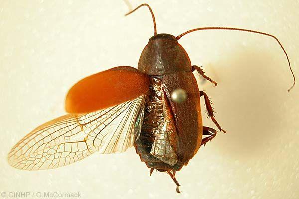 Diploptera punctata, una cucaracha vivípara que produce leche. Foto de internet