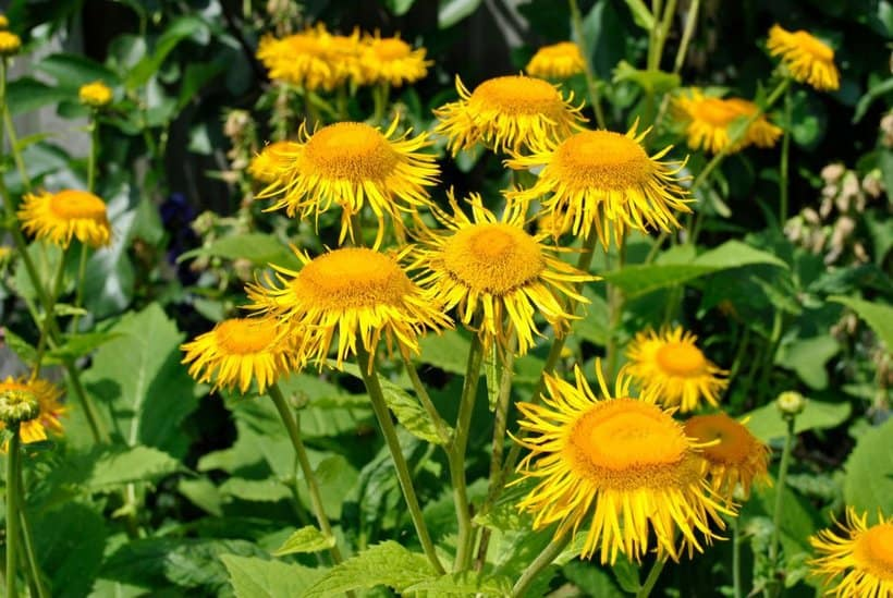 Elecampane Essential Oil, ecoluxury, ecoluxluv, luxury lifestyle, luxury brand, luxury life, luxury zone, alberni street, fblogger, luxury homes, designer, gala, celebrities, personalities, supercar, fashion blogger, lifestyle consultant, sustainable, recycling, plantbased, vegan