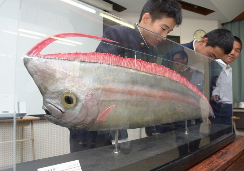 珍魚:「アカナマダ」宮崎海洋高が捕獲 博物館に剥製寄贈 - 毎日新聞