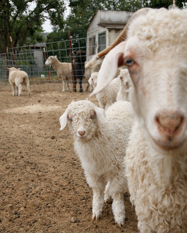 dyeing-goats.jpg