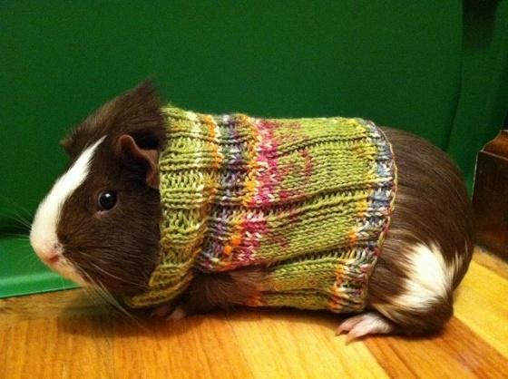 cute_overload_guinea_pig_sweaters1.jpg