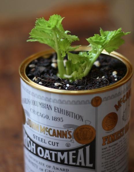 17apart_grow_celery_indoors