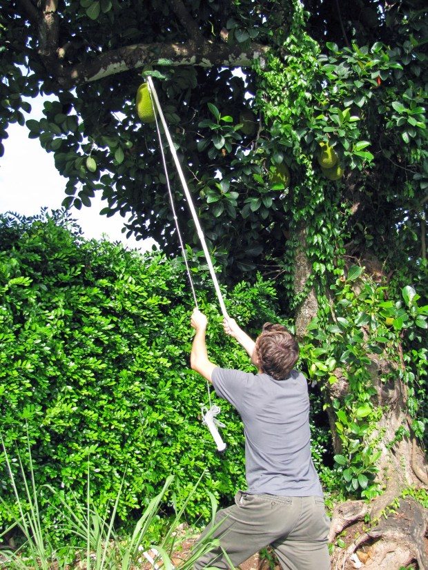 M22_1761 pulling on the jackfruit