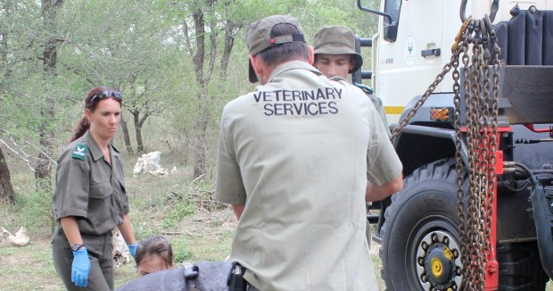 SANParks veterinarian services performs an autopsy on the dead Rhino.