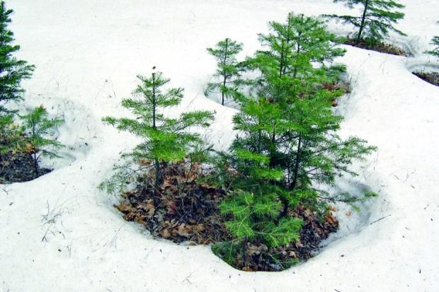 snow sapling