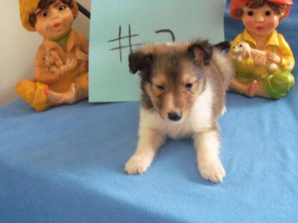 Jo Ann Vaughn - Shetland Sheepdog Puppies For Sale