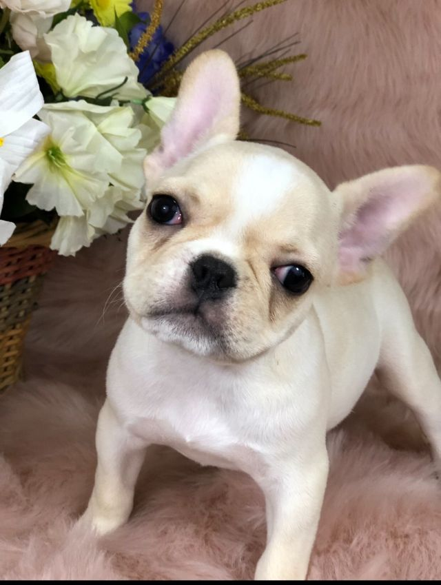 ivan ambriz - french bulldog puppies for sale - born on 05/21/2019