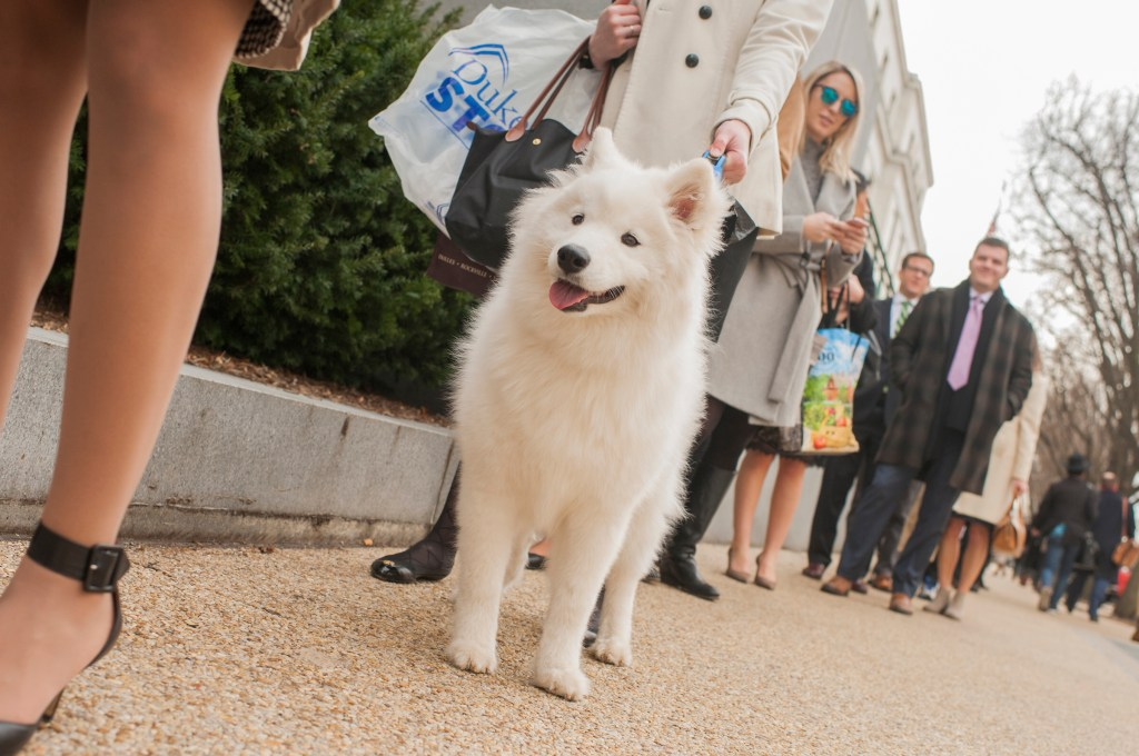 Pippen, a Samoyed, Hill staffers and others wait in a long line to enter Dirksen Building as only certain doors to the Senate office buildings were open while Congress works to end the government shutdown on Monday. (Tom Williams/CQ Roll Call)