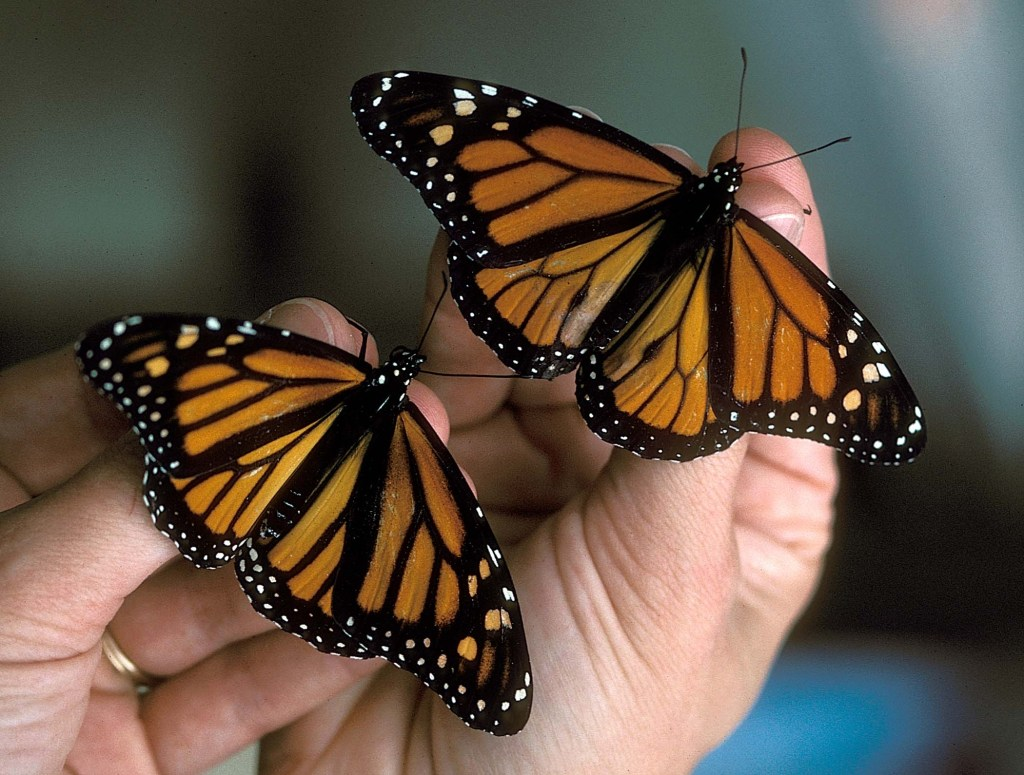 New construction in Texas will cut through a butterfly refuge. (Courtesy Texas Parks and Wildlife Department)