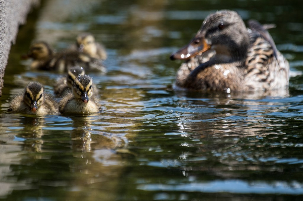 UNITED STATES - MAY 16: Ducklings swim in the Capitol Reflecting Pool on May 16, 2019. (Photo By Bill Clark/CQ Roll Call)