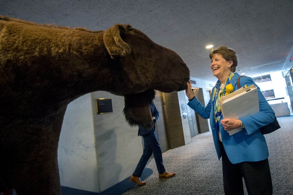 UNITED STATES - JUNE 4: Sen. Jeanne Shaheen, D-NH, greets a stuffed moose as members of her staff move it to her office. A stuffed moose and bear were brought in for the Experience New Hampshire event, hosted by Sen. Jeanne Shaheen, D-N.H., which features dozens of local New Hampshire food to be sampled by members of Congress. (Photo by Caroline Brehman/CQ Roll Call)