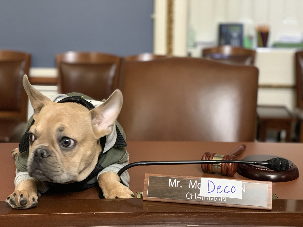 Deco, Rep. AOC's 5-month old french bulldog poses in the Rules committee room (Jeff Gohringer)