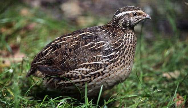 112201994830 1j041p5cbw quail