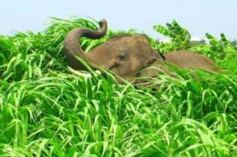 Elephants Destroy Farms At Assin Abodweseso