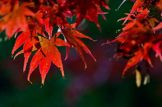 Bright red acer leaves