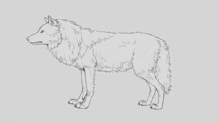 Pencil sketch of a wolf with its full winter coat