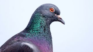 A pigeon poses against a light-colored backdrop.