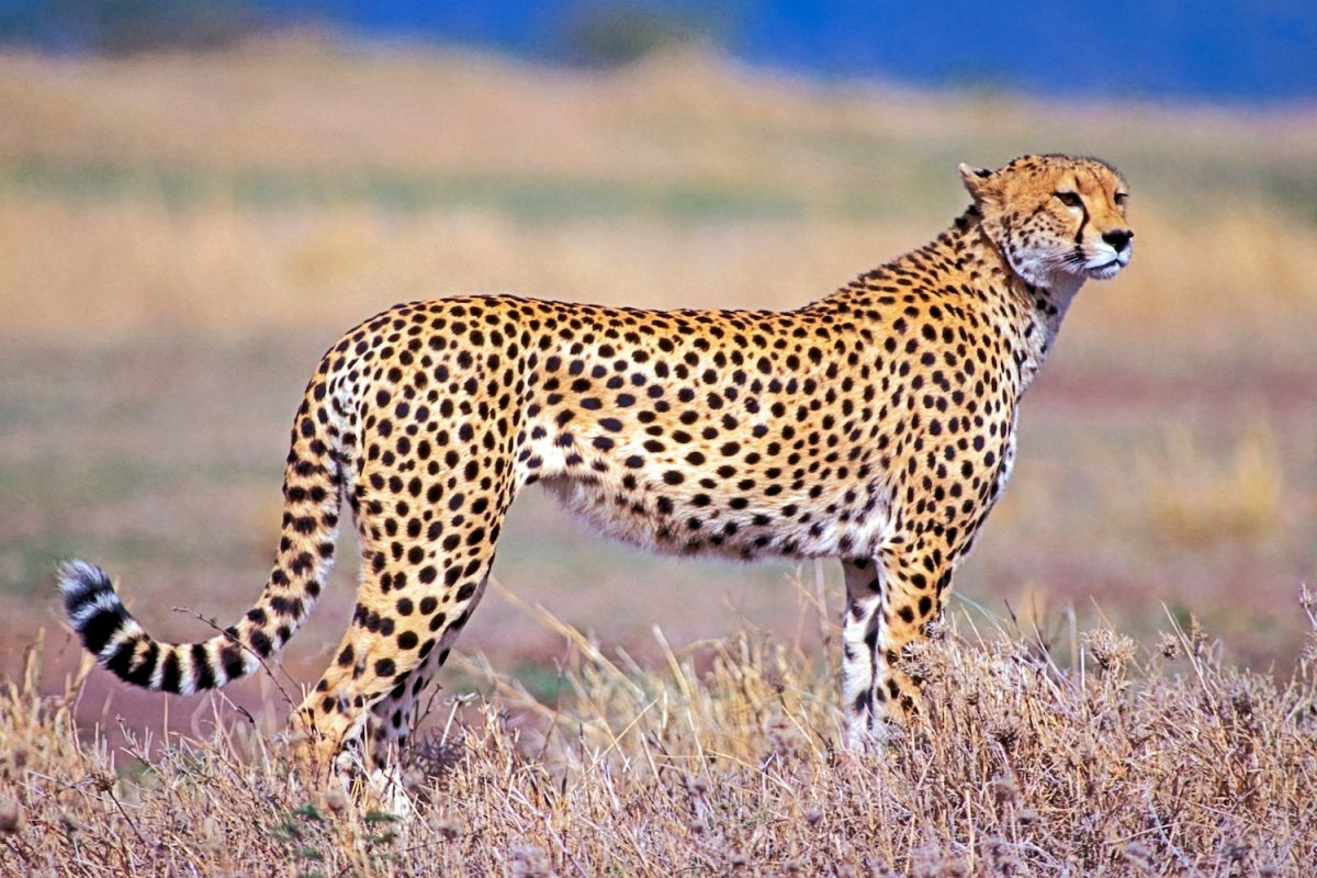 Cheetahs The Fastest Land Animals