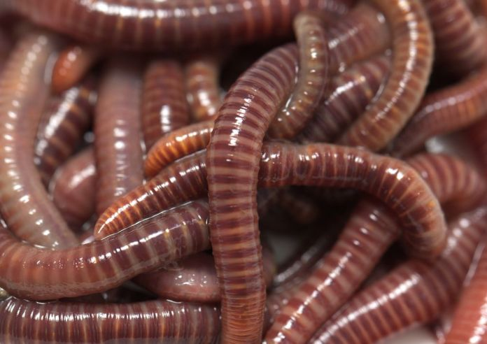 Will Two Worms Grow from a Worm Cut in Half? | Earthworms | Live Science