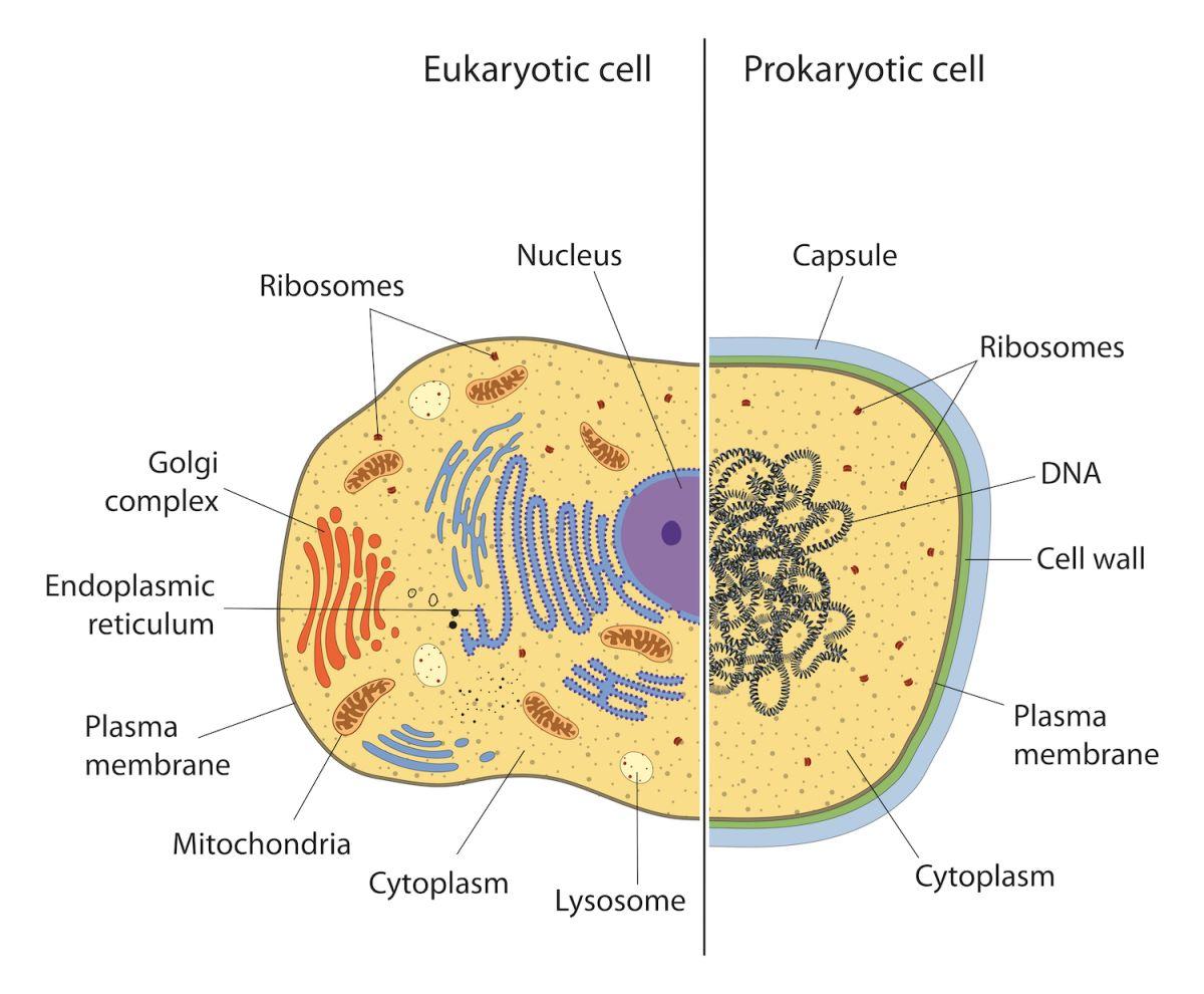 Prokaryotic Cells Venn Diagram