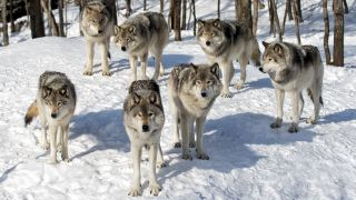 A photo of a pack of timber wolves standing in the snow.