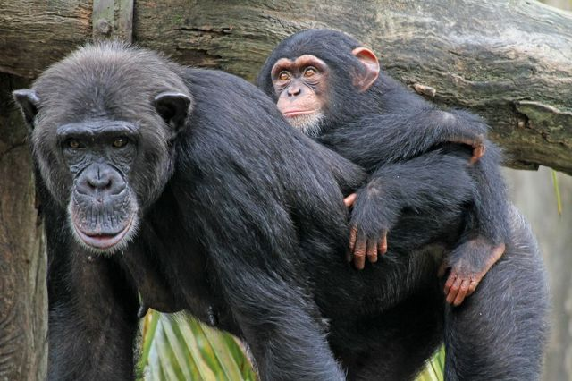 Who Would Win a Human-vs.-Chimp Wrestling Match? | Live Science