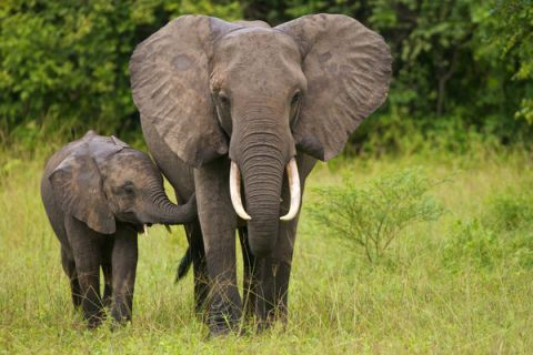 bush elephants' tusks are curving, while on the contrary, forest elephants' tusks are straight. Elephants Earth S Largest Land Animals Live Science