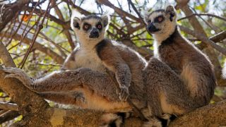 A photo of two ring-tailed lemurs sitting in tree in Isalo National Park, Madagascar.
